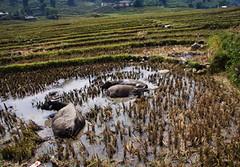 Sapa (drloewe) Tags: mountains landscape hiking vietnam sapa mong wasserbffel bergvlker canoneos50d