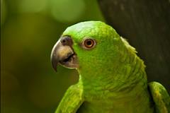 parrot (jennifermmupton) Tags: wild rescue green bird costarica wildlife parrot puertoviejo sancuary jaguarrescuecenter