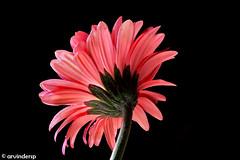 I'm not shy, I'm just holding back my awesomeness (ArvinderSP) Tags: flower closeup gerbera 469 arvinder againstblack nikon28105f3545d nikond7000 arvindersp imnotshyimjustholdingbackmyawesomeness