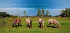 Quartet (Drk002) Tags: horses belgium belgië gent bourgoyen drongen thebestofmimamorsgroups mygearandme mygearandmepremium mygearandmebronze blinkagain flickrstruereflection1 flickrsfinestimages1 magicmomentsinyourlifelevel3 magicmomentsinyourlifelevel4 infinitexposure