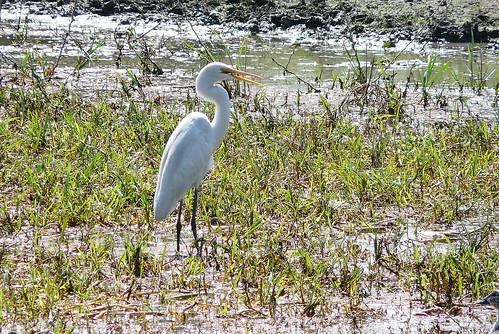 01. Grande Aigrette - Ardea alba - Great Egret
