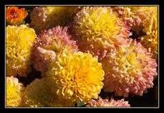 Mums (I) (gtncats) Tags: flowers nature mums collierville mygearandme photographyforrecreation