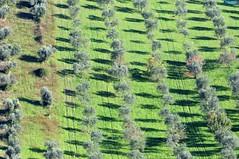 Giovani ulivi sabini (luporosso) Tags: trees italy naturaleza tree nature alberi nikon italia natura sabina bume lazio ulivi olivi naturalmente nikond300s