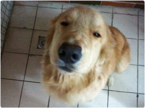 「認養」桃園八德市約1歲黃金獵犬弟弟~誠徵會照顧他一輩子的新家~謝謝您!20131130
