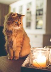 Robijn (Rick Bruinsma) Tags: pet cat 35mm canon eos kat candle f14 maine coon 6d kaars robijn