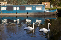 Swans | Along the Grand Union Canal | Perivale to Greenford - 20 (Paul Dykes) Tags: uk england reflection london boats canal swan walk waterway canalboat grandunioncanal alperton muteswan barges cygnusolor