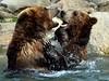 Grizzly Play Date (Eddie C3) Tags: newyorkcity bronxzoo zoos grizzlybears wildlifeconservationsociety