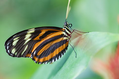Tiger Longwing Butterfly (Bob Decker) Tags: macro butterfly butterflies insects macrophotography insectphotography tigerlongwingbutterfly canon100mmf28lmacrolens