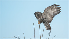 Great Gray Owl Incoming (Raymond J Barlow) Tags: travel ontario canada wildlife ngc greatgreyowl owl raymondbarlowphototours