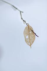 Hanging on (Jos Pockett) Tags: winter snow ontario canada tree leaf woods nikon bokeh single beechleaf d7000 pfnature14