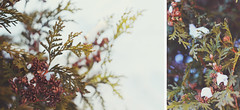 5/52 (cherrygurl) Tags: winter white snow green bush diptych pinecones project52 nikond3100 february22014
