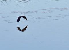 Little Blue Heron, In Flight (Cheshire_Cat) Tags: bird heron florida wildliferefuge littleblueheron dingdarling jndingdarlingnationalwildliferefuge dingdarlingnationalwildliferefuge dingdarlingwildliferefuge dingdarlingnwr {vision}:{outdoor}=099 {vision}:{sky}=0922