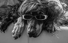 Cool as a Cucumber (Chill Mimi) Tags: portrait dog pet cute animal glasses funny doberman dressups
