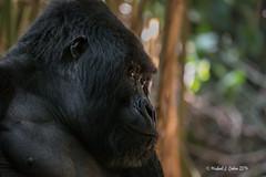 silverback (MyKeyC) Tags: africa gorilla rwanda mountaingorilla aaacolgorilla