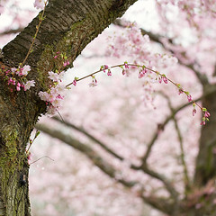 romantic (Sabinche) Tags: pink tree nature square cherry spring soft blossom bokeh twig sabinche hbw japanesecherryblossom canoneos5dmarkiii