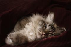 sleep for the whole day (Blitzknips) Tags: cat katze katzen birman a77 sacredcatofburma sacredbirman heiligebirma sonya77