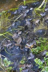 common frogs spawning in garden pond (willjatkins) Tags: frog britishwildlife gardenwildlife ukreptilesandamphibians britishamphibiansandreptiles