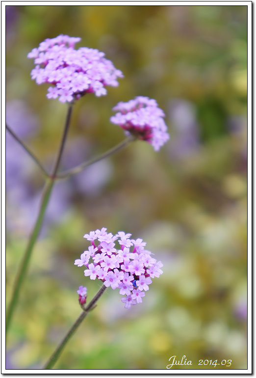 紫藤、老梅 (26)