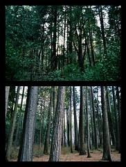 110 (oliviasun) Tags: trees forest spring nikon diptych yosemite mariposa hue 18mm mariposagrove vscocam