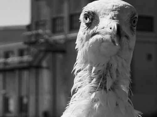 Kampfeslustige Möve - Combative Gull