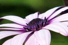 African Daisy (✿ Graça Vargas ✿) Tags: margarida daisy africandaisy purple macro flower graçavargas ©2017graçavargasallrightsreserved 26008270217