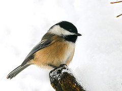 A Friend of our Feeder (Team Hymas) Tags: chickadee feeder bird vancouverwashington home