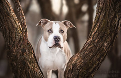 Eff (Le-laa) Tags: amstaff americanstaffordshireterrier americanstaffy animal pet petphotography photography dog dogphotography dogportait portait canon6d canon tree finland outdoorphotography