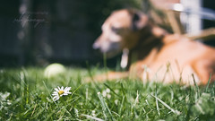 Happy Birthday mate! (Uncle Berty) Tags: dexter doo furminger pet portrait dog rescue daisy minpin mini pinscher jack russell cross mix breed terrier jrt processed neutral grass flowers shallow dof depth field focus out birthday
