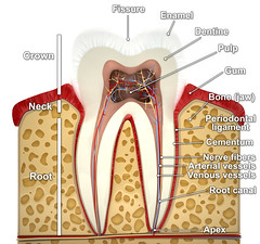 Root Canal Treatment in Delray beach (StallerDentalFlorida) Tags: human tooth inside 3d model render layout crown neck root fissure enamel dentin pulp gum cementum periodontalligament bone jaw canal apex fibers vessels nerve artery blood dental medical clean medicine membrane illustration periodontal biology care cavity science crosssection dentist anatomy dentistry hygiene health anatomical