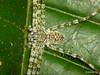 Spider, Thaumasia sp.