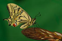 Papilio machaon (2) (JoseDelgar) Tags: insecto mariposa papiliomachaon josedelgar coth coth5 alittlebeauty sunrays5 thegalaxy contactgroups fantasticnature natureselegantshots ngc npc thebestofmimamorsgroups