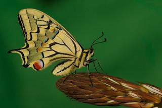 Papilio machaon (2)