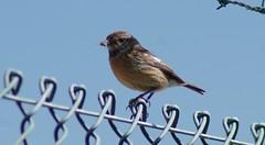 Spotter con alas.- Spotter with wings.- (loadmaster_b707) Tags: aves pájaros desayuno spoter sonsanjoan lepa