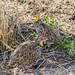 Yellow-necked Francolin (Pternistis leucoscepus)