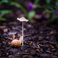 snail journey 2 of 3 (Tatterededges) Tags: creatures mushroom snail garden macrophotography outdoors littlelandscape