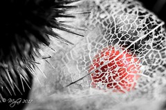 Prison or Protection ? (Mike Y. Gyver ( Organize in Albums)) Tags: physalis weed desaturation colorpop colors art artwork sigma105mmmacrof28exdgoshsm nikon d90 dof dephtoffield dream emotion red macro mood blackwhite contrast