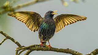 Starling - mating dance (up to 35 variable song types and as many as 14 types of clicks)