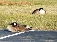 Pair Of Canada Geese Taking A Nap. (dccradio) Tags: lumberton nc northcarolina robesoncounty goose geese canadageese sunning sun sunshine grass lawn greenery canadagoose pavement parking parkinglot waterfowl bird animal nature