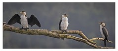 Trio of Little Pied Cormorants (cconnor124) Tags: littlepiedcormorants cormorants largebirds waterbirds birdphotography australiannature australia northernqueensland daintreeriver daintreerainforest exoticbirds nature naturephotography canon100400lens canon7dmk11