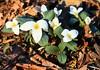 snow trillium at Ludwig Park IA 854A5174 (lreis_naturalist) Tags: snow trillium flowers nivale ludwig park winneshiek county iowa larry reis