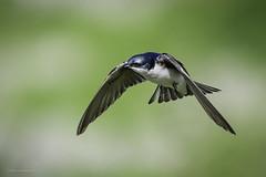 Tree Swallow On A Mission (halladaybill) Tags: sanjoaquinwildlifesanctuary treeswallow irvine california unitedstates us animal orangecounty swallow iridescence flight californiabirding