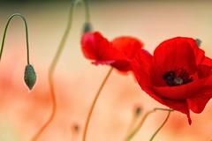 schizzi di rosso (mat56.) Tags: fiori flowers papaveri poppies prato lawn boccioli buds bokeh rosso red primavera spring campagna sancolombanoallambro milano pianura padana antonio romei mat56 schizzi spray