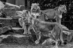 lions (Stijn Daniels) Tags: lion leeuw planckendael blackandwhite black white zwartwit zwart wit nature animal canon rebel 600d