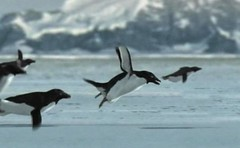 Penguin, elusive new species discovered 3-31-2017. Go to the video. (polepenhollow) Tags: aprilfool silly ridiuclous bbc