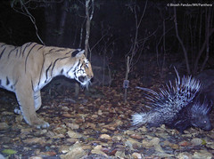 A rare camera trap photo of a wild tiger chasing a porcupine in the Indian Terai (Panthera Cats) Tags: wildlife tiger conservation bigcat panthera indianporcupine