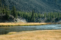 494 - Firehole River & Elk (Scott Shetrone) Tags: animals forest scenery events places rivers yellowstonenationalpark elk mammals 7th anniversaries wymoing
