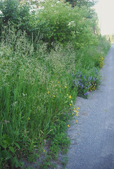 (lorraine arlene) Tags: road flowers ontario canada nature grass outside