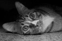 Il mio coinquilino Nemo. (Jessica Ronca ) Tags: cats animals kittens kitties felino felini meow felines miao gatto gatti animali micio mici gattini