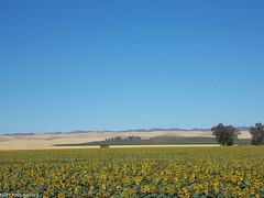 Sunflower Field 2 (Tyler Ross Gallery) Tags: california travel flowers field digital landscape photography ross farm scenic tyler hills sunflower northern