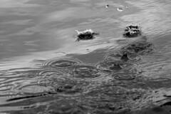 Splash (crabtree.simon) Tags: uk trip summer white holiday black water river flow britain paddle drop calm canoe adventure drip rings monmouth droplet flowing splash liquid wye wyevalley 2013